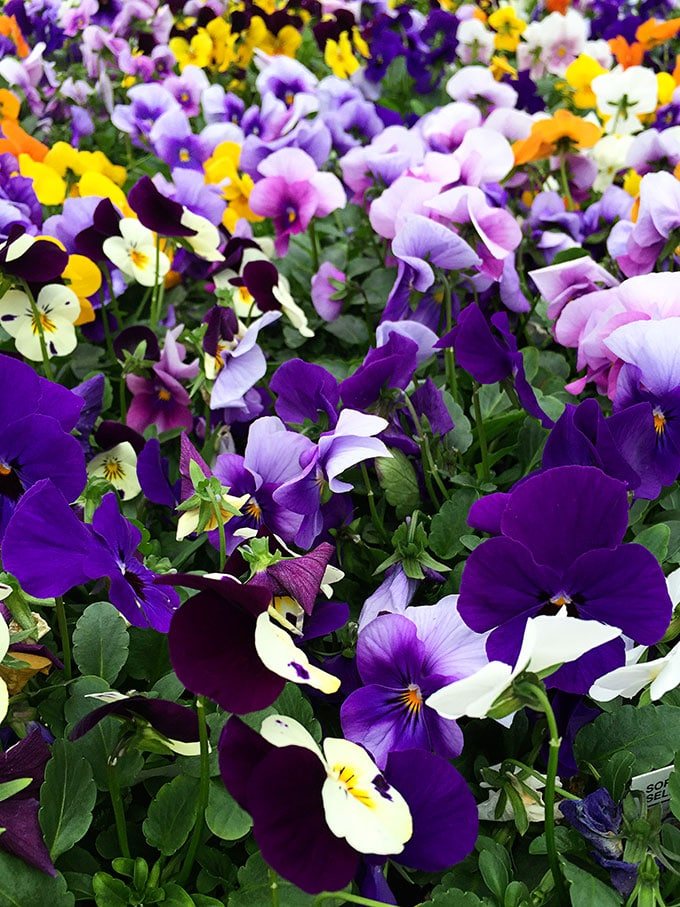 Viola (Viola x wittrockiana) - Cold tolerant early spring flowers to plant now and enjoy all spring long. These colorful plants can survive a light frost and keep looking great.