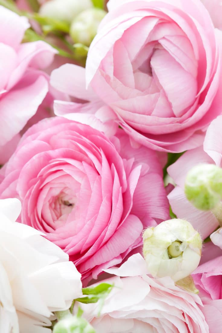 Ranunculus (Ranunculus asiaticus) - Cold tolerant early spring flowers