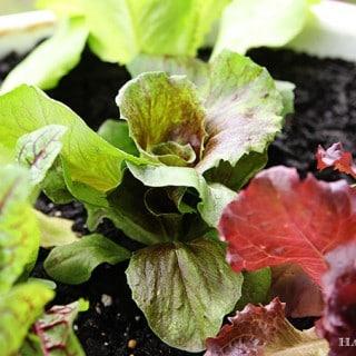 Radicchio - Red Leaf Chicory