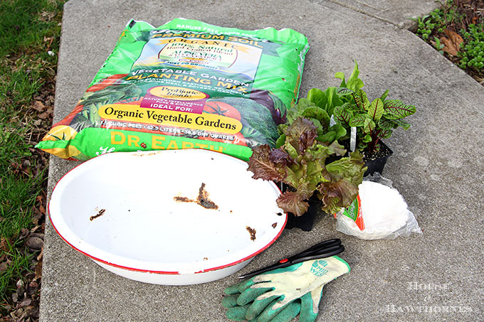 Tips on growing lettuce in the spring in a container in your vegetable garden. It's easy and yummy!