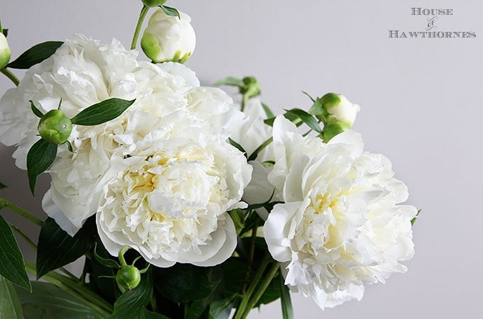 How To Grow Peonies Your Neighbors Will Envy