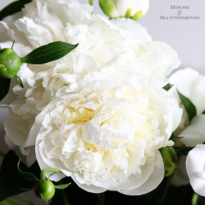 White Duchess de Nemours Peonies