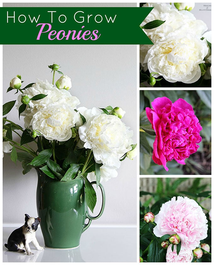 AWESOME TIPS on how to grow peonies. Everything from soil conditions to USDA zones to ants and including how and when to cut a peonies bouquet. #gardeningtips #peonies