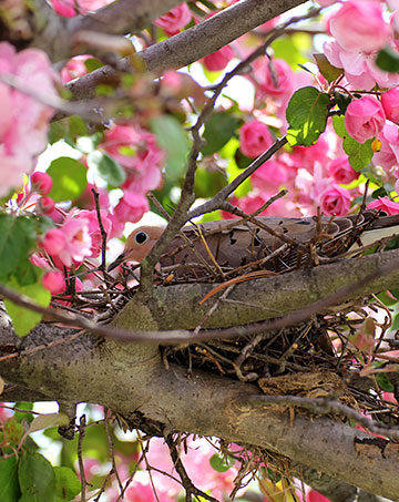 Morning Dove in a crabapple tree