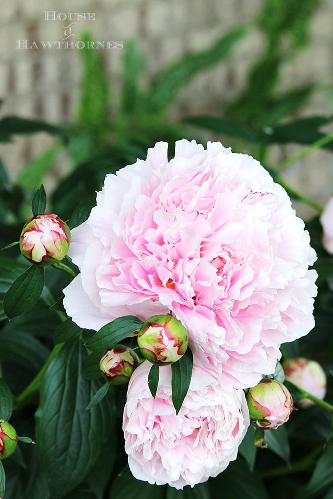 AWESOME TIPS on how to grow peonies. Everything from soil conditions to USDA zones to ants and including how and when to cut a peonies bouquet.