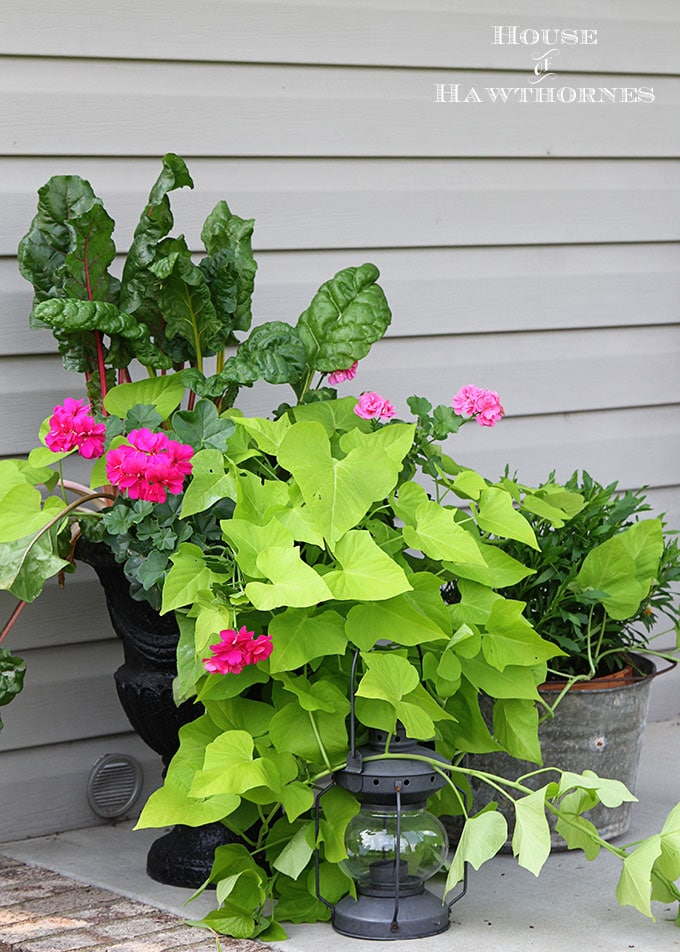 Sure it is one of the healthiest vegetables out there, but Swiss Chard can also used as an ornamental plant! Fantastic accent for your container gardening!
