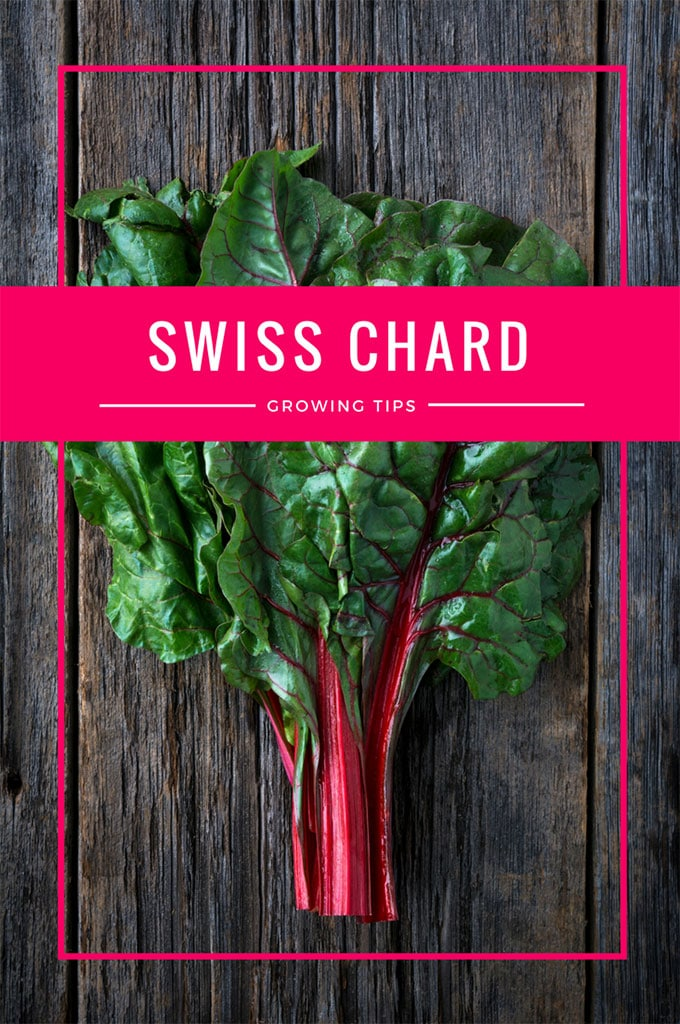 One of the healthiest vegetables out there, but Swiss Chard can also be grown as an ornamental plant! Fantastic accent for your container gardening!