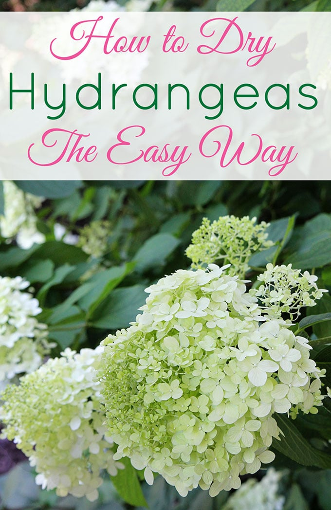 Your guide to drying hydrangeas. It doesn't get easier than this!