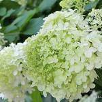 Growing-Hydrangea-38320