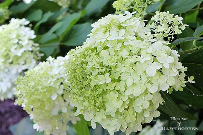 Lazy Girl's Guide To Drying Hydrangeas