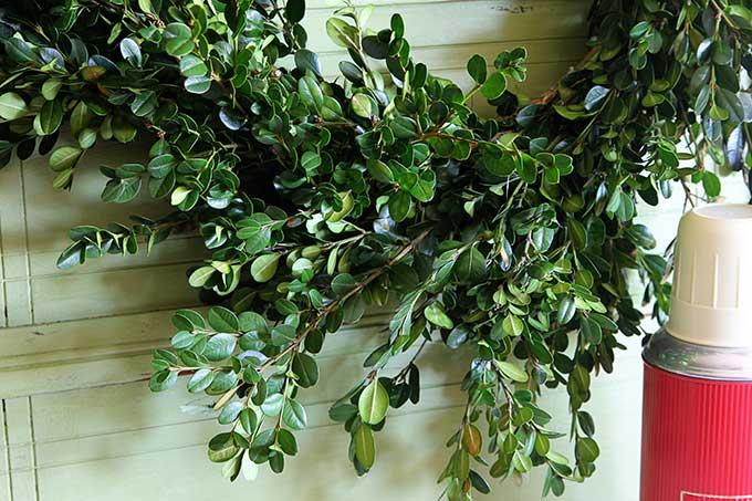How to make a fresh boxwood wreath