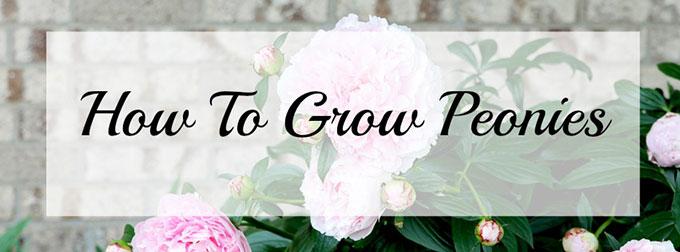 How-To-Grow-Peonies