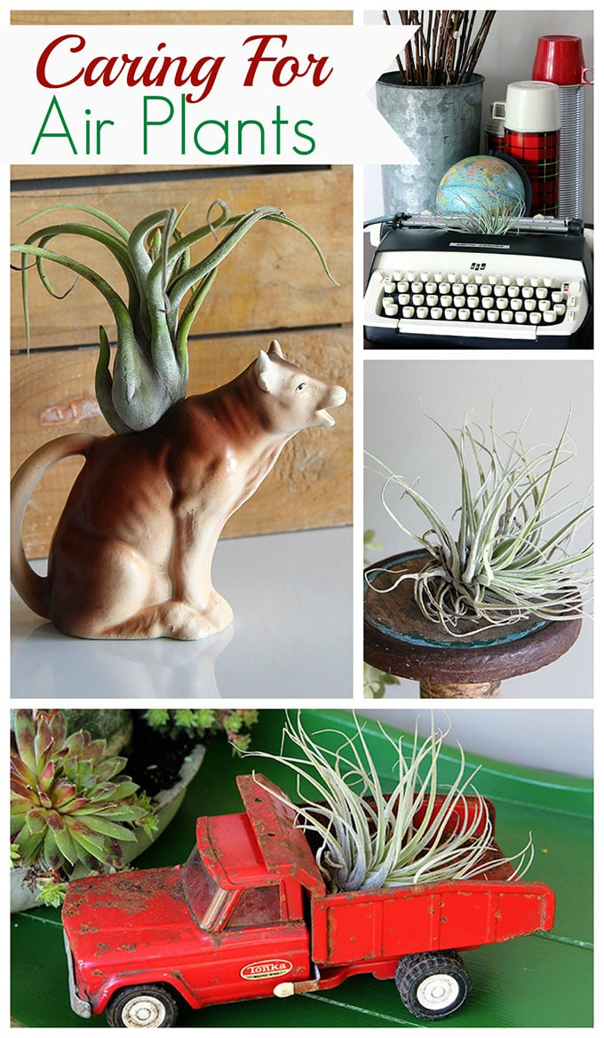 Air plants are an easy houseplant to grow! With just a few simple tips for caring for your air plants you'll soon be in love with these free spirits.
