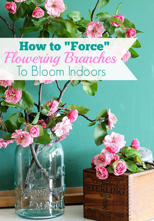 Forcing flowering branches to bloom is one of the easiest ways to bring spring inside! Includes easy instructions on how and when to cut your branches and tips on arranging them.