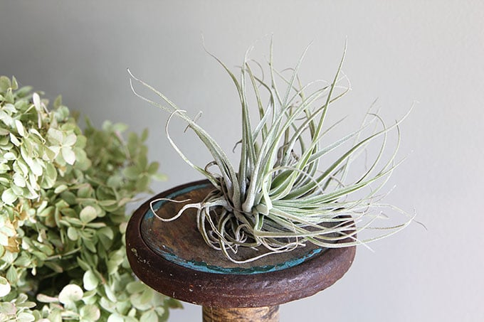 Air plants are an easy houseplant to grow! With just a few simple tips for caring for your air plants you'll soon be addicted to these free spirits.