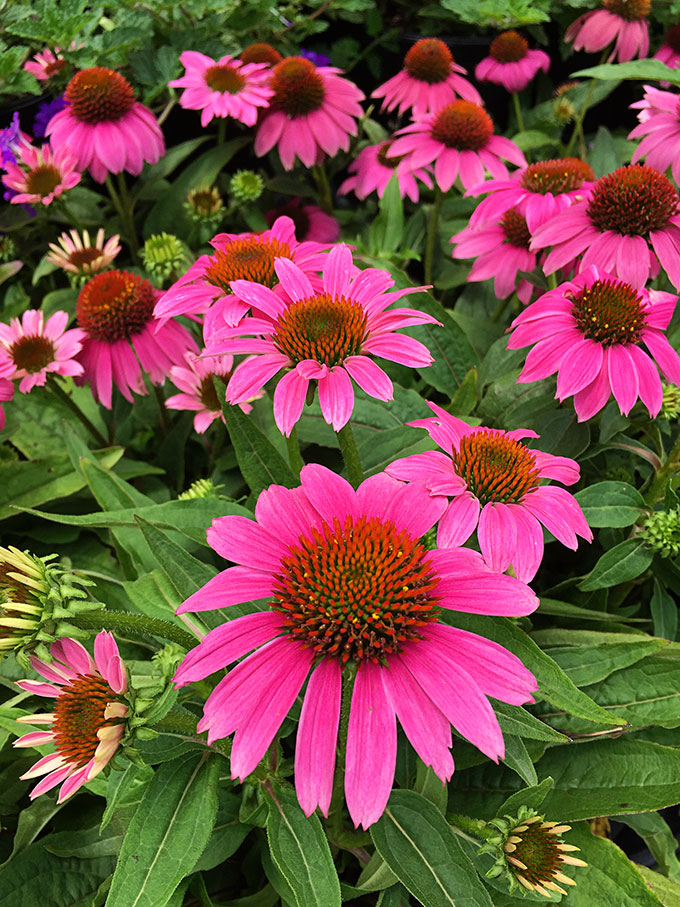 Purple coneflower plants