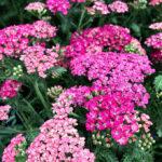 Yarrow-Achillea-millefolium-3930