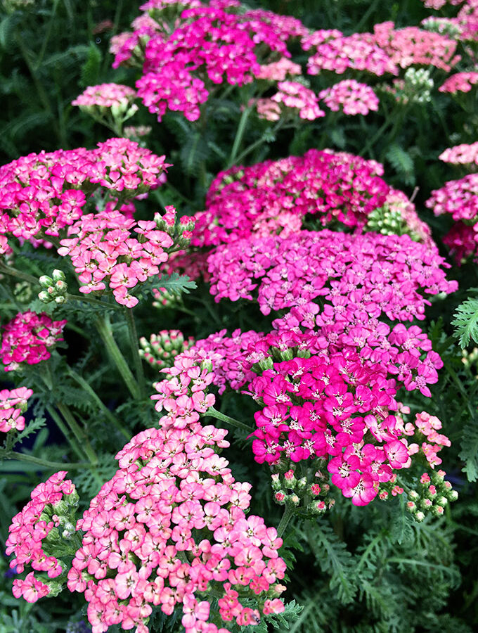 5 Favorite Late Summer Flowers