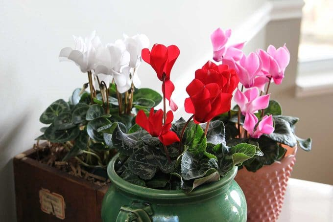 Cyclamen care instructions for growing the cheeriest, most colorful indoor winter plants. Easy to follow growing tips to brighten up your winter home decor.