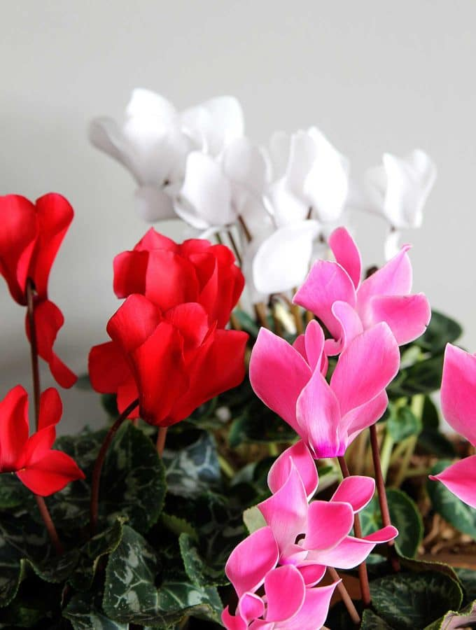Cyclamen Care: How To Grow Indoor Cyclamen