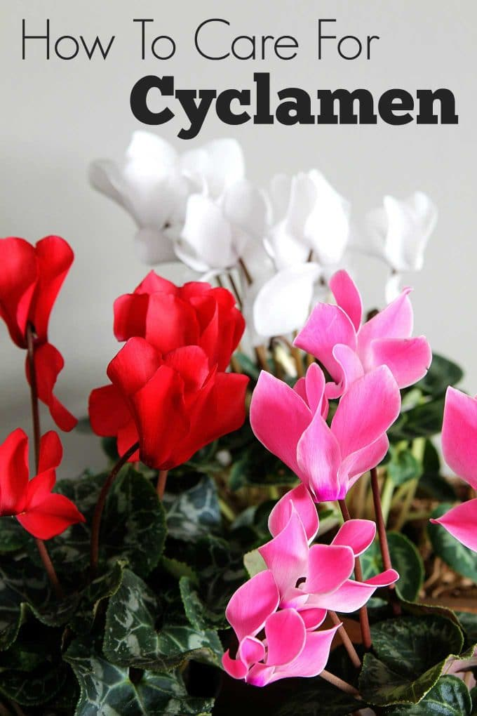 Cyclamen care how to grow indoor cyclamen house of for Easy to care for flowers outdoor
