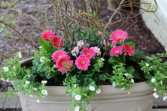 Dianthus, Gerbera Daisy and Calibrachoa