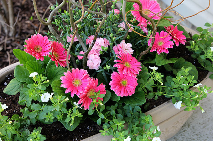 Calibrachoa, Dianthus and Gerbera Daisy