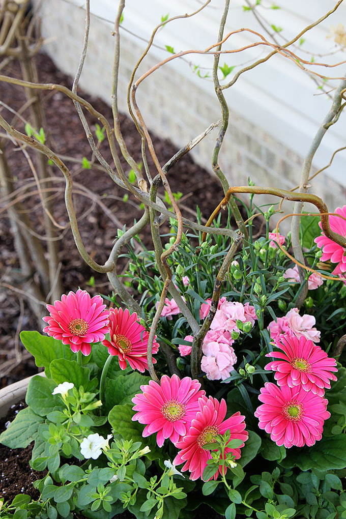 Beautiful pink flowers for summer garden planters