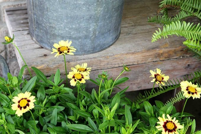 UpTick Cream And Red Coreopsis