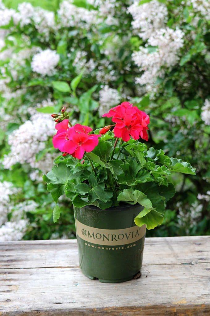 Cumbanita Deep Rose Geranium by Monrovia