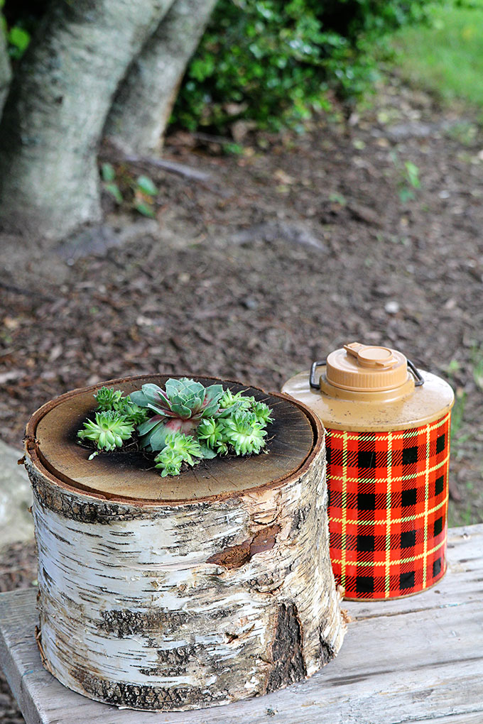 How to make your own log planter for succulents using a bonfire log you can buy at your local hardware store. DIY succulent log planter without cutting down your own tree!