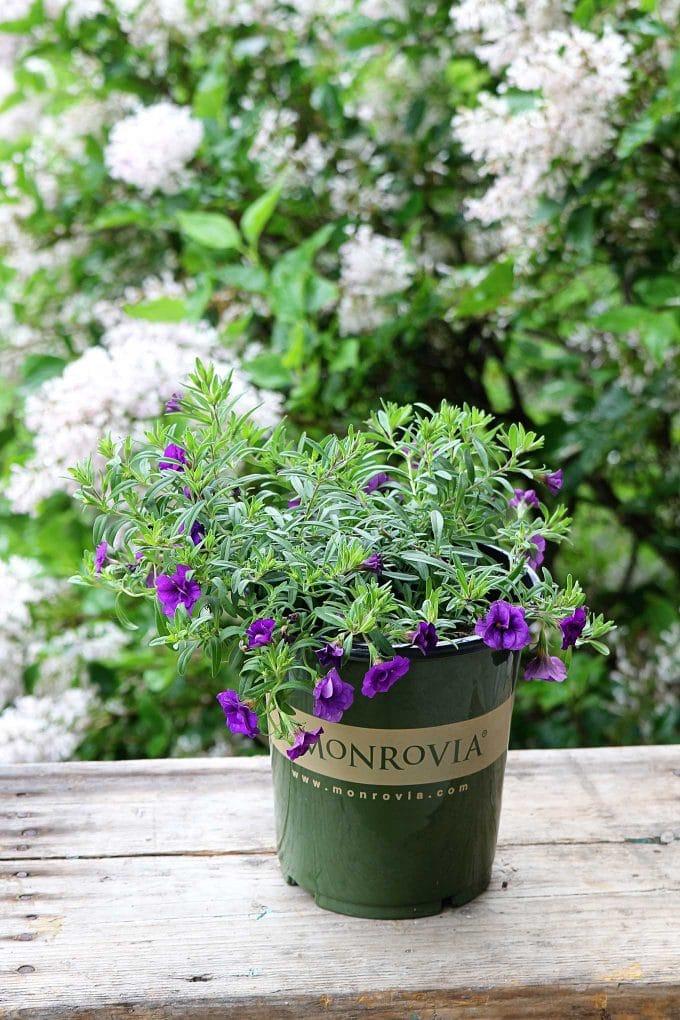 Minifamous Double Calibrachoa in purple by Monrovia