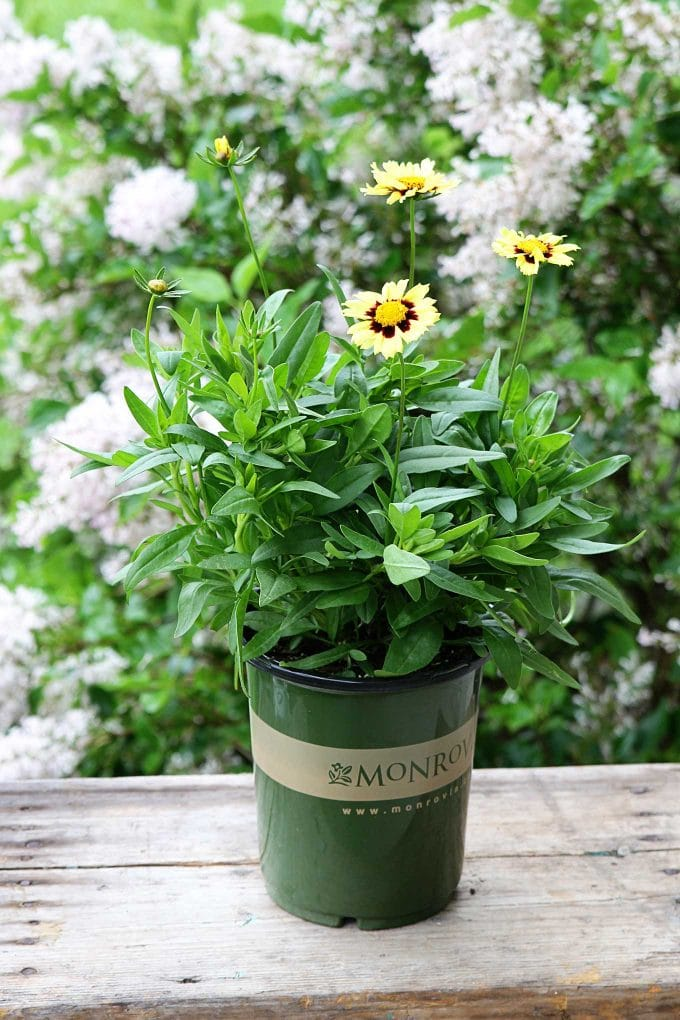 UpTick Cream and Red Coreopsis by Monrovia