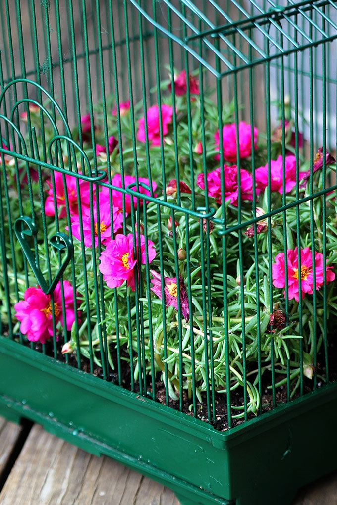 Bright pink portulaca growing in a birdcage