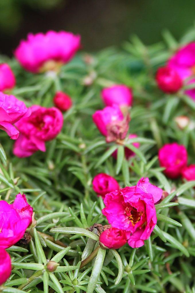 Bright pink portulaca