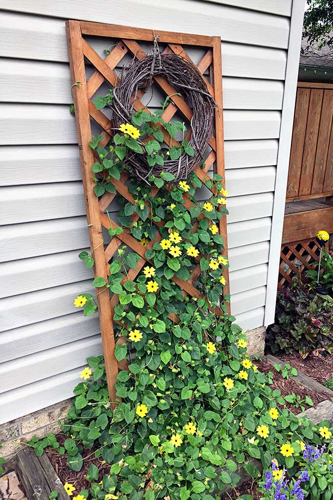 Black Eyed Susan Vine For The Win House Of Hawthornes