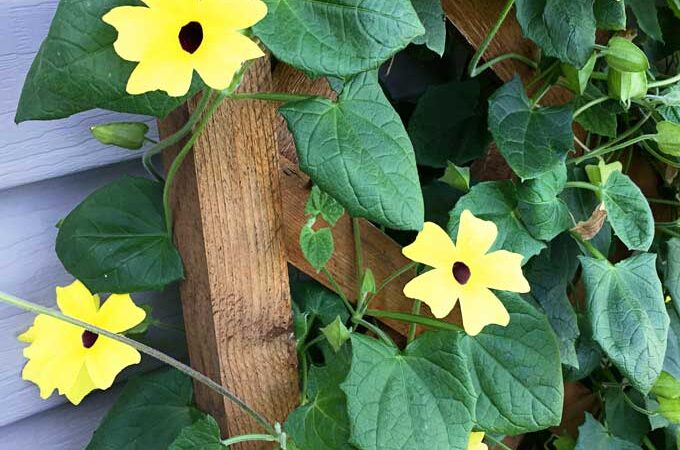 Black-Eyed Susan Vine For The Win