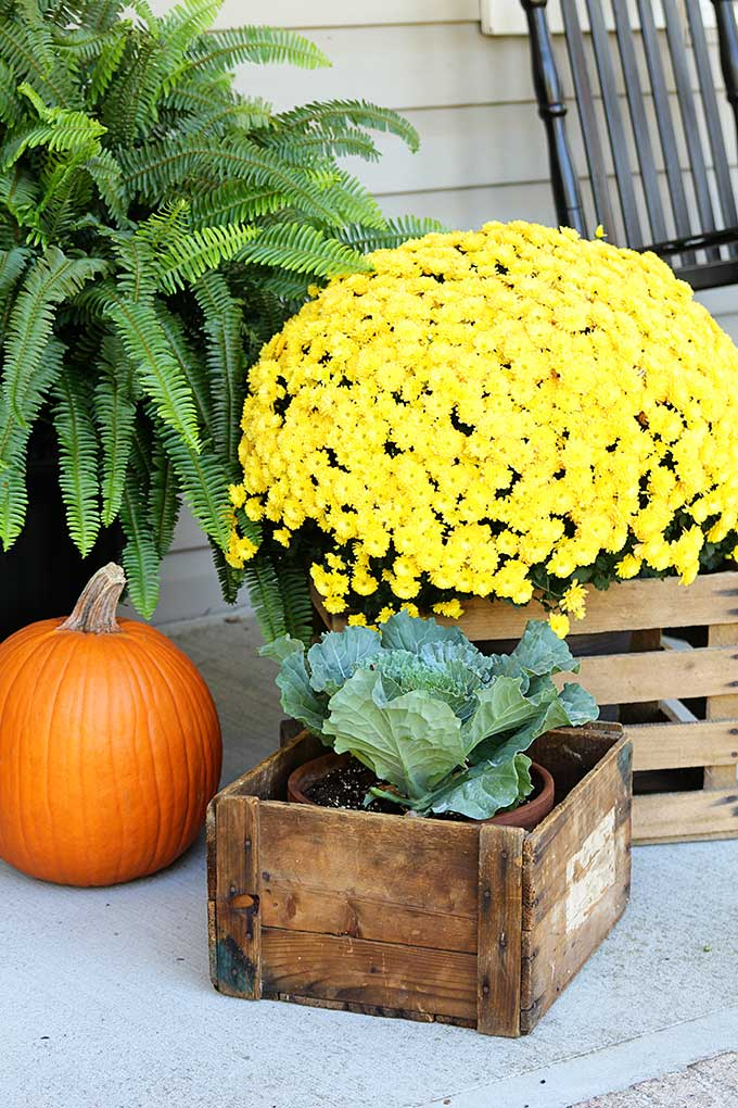 Mums and cabbage on the porch for fall