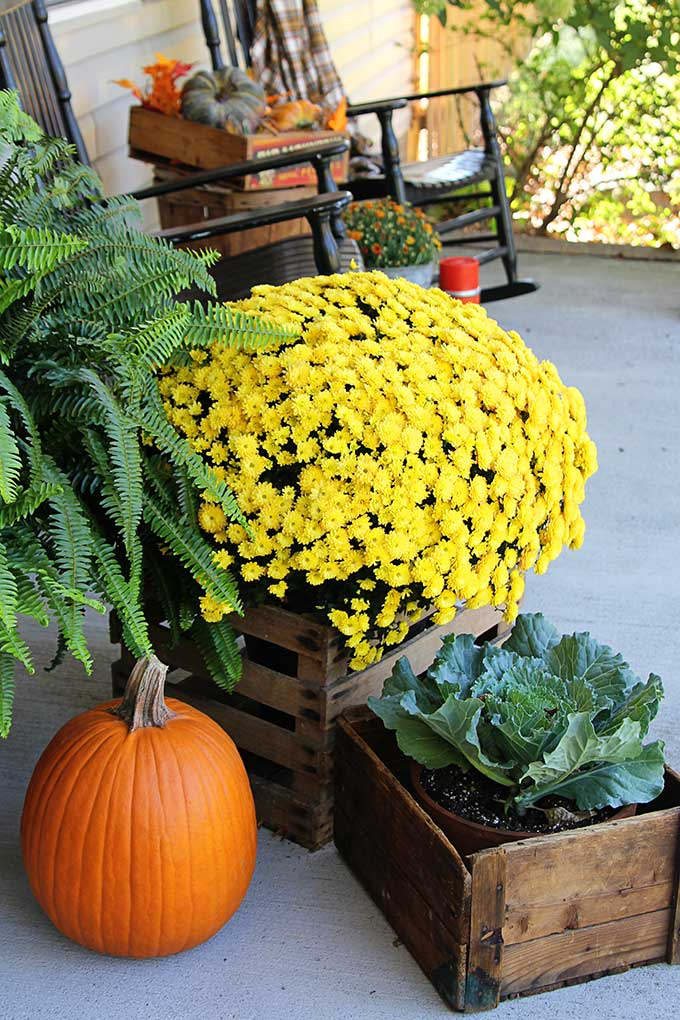 Mums, cabbage, kale and pumpkins on the fall porch