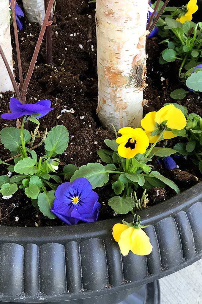 Pansies in a spring porch pot