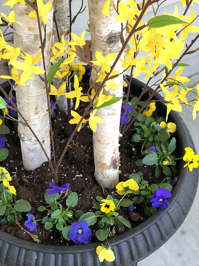 Spring pansies and forsythia