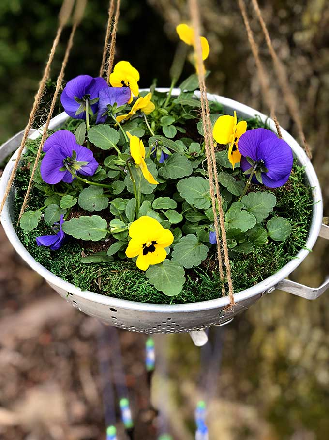 Pansies planted in upcycled colander