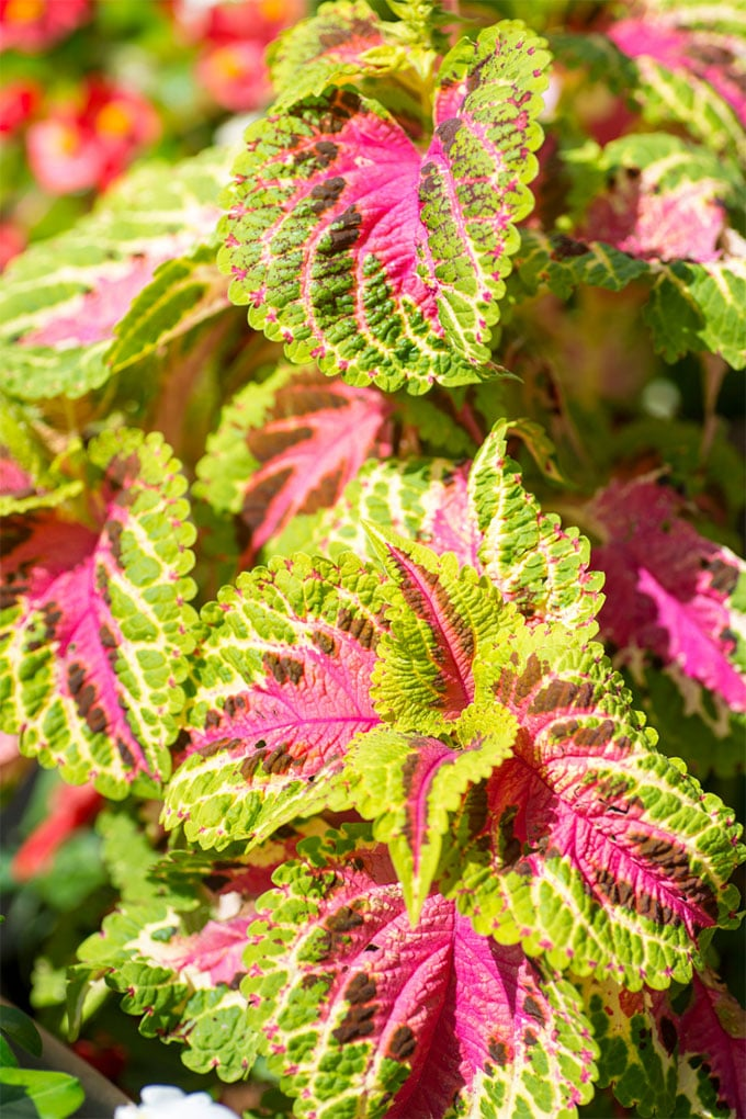 Coleus and other old fashioned flowers