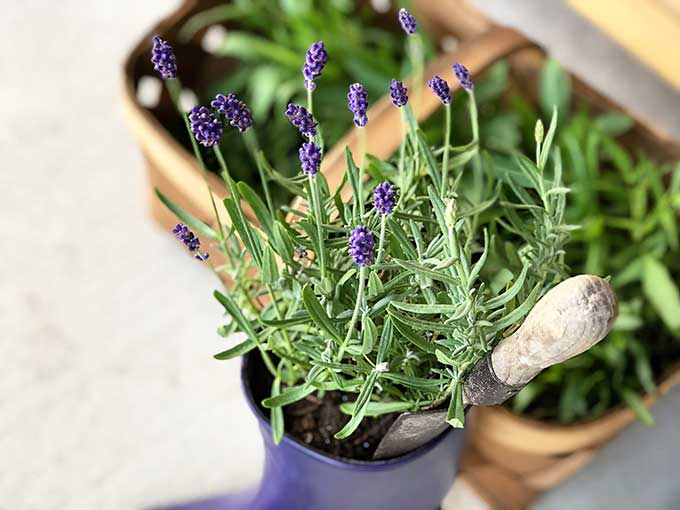 Lavender plants in rubber boot
