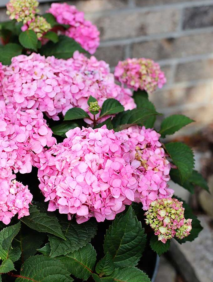 How To Grow Hydrangea In Pots