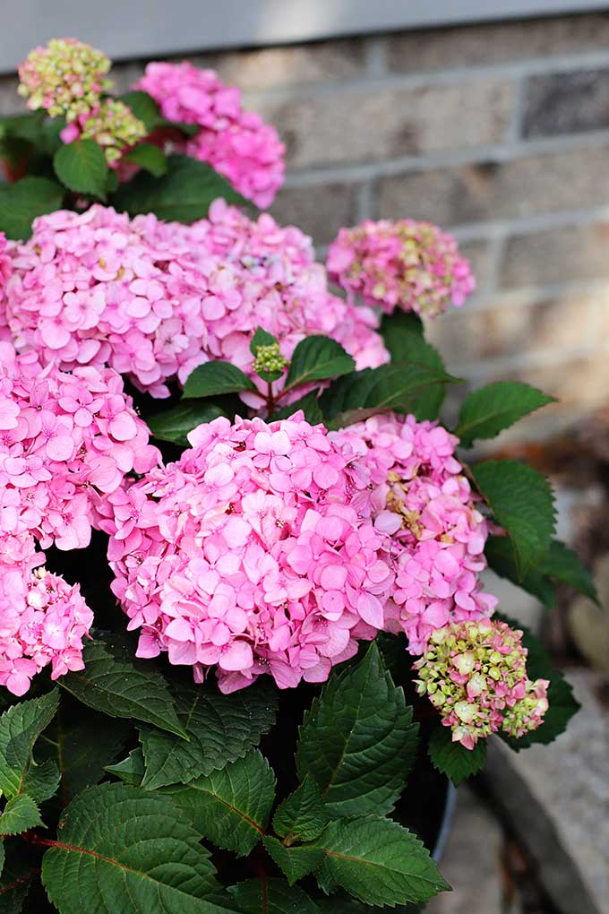 Beautiful pink blooms on Endless Summer hydrangea BloomStruck