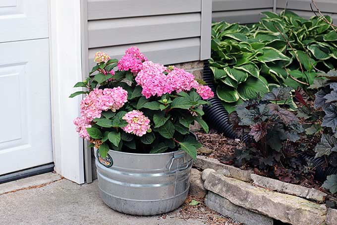 Endless Summer hydrangea in a pot