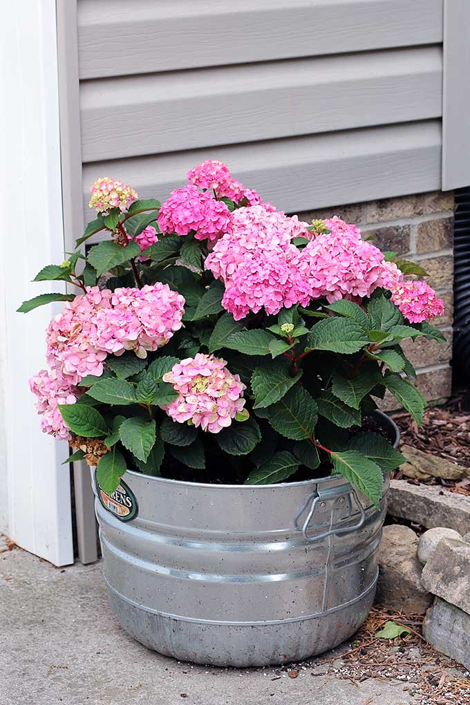 Growing hydrangea in containers