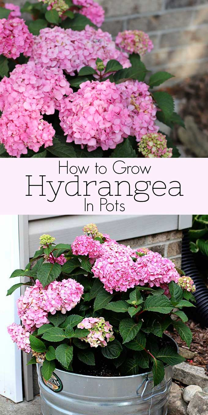 Growing hydrangea in pots