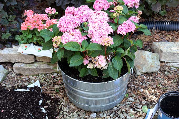 How to grow a hydrangea in a pot